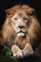 Мозаика алмазная Рыжий кот Гордый лев 30х40 см