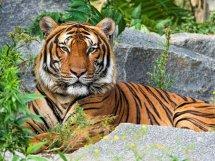 Мозаика алмазная Рыжий кот Тигр на камнях 30х40 см
